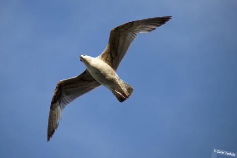 A seagull at full wingspan