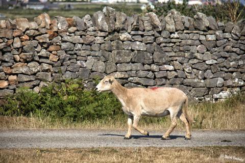 Rhossili Bay Sheep