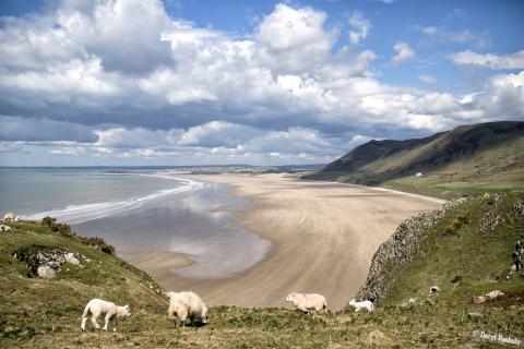 Rhossili Bay Beach & Sheep